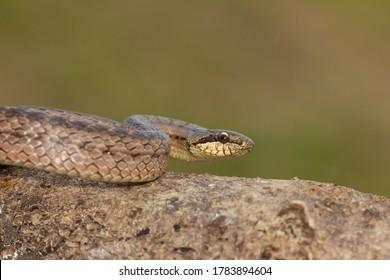 Smooth snake, Austrian Coronella, snake on the rock with green background, Vigo, Spain.