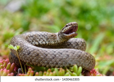 Smooth snake, Coronella austriaca in the pyrenees.