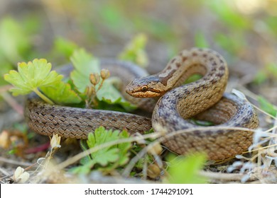 Smooth Snake - Coronella austriaca  species of non-venomous brown snake in the family Colubridae. The species is found in northern and central Europe, but also as far east as northern Iran.