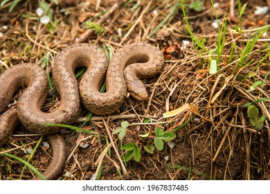 Smooth Snake - Coronella austriaca species of non-venomous brown snake in the family Colubridae. The species is found in Europe.