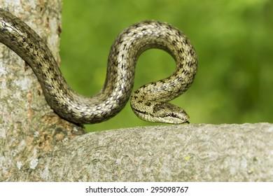 Smooth snake in natural habitat / Coronella austriaca
