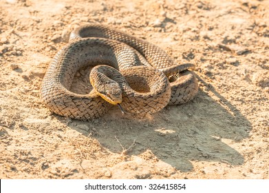 Smooth snake in sunset light, with forked tongue