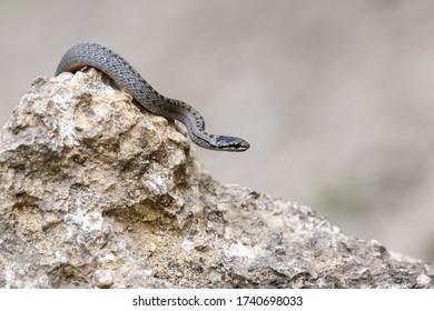 Smooth snakes eyes (Coronella austriaca) taken on heathland nature habitat on stone