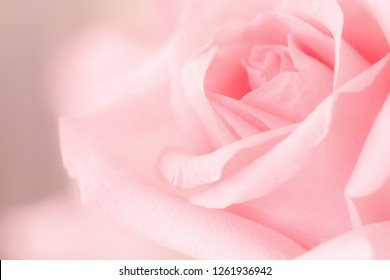 Smooth softness focus on sweet pink rose for beauty product design concept