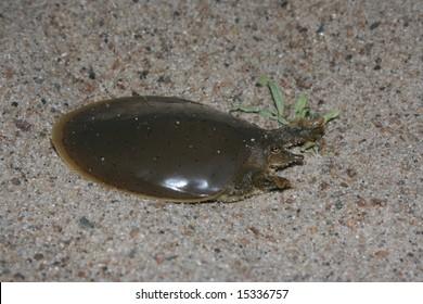 Smooth Softshell Turtle (Apalone mutica)