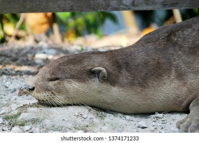 Smooth-coated otter (Lutrogale perspicillata) sleeps on the ground in Singapore Sungei Buloh Wetland Reserve As its name indicates, the fur of this species is smoother and shorter than other otters.