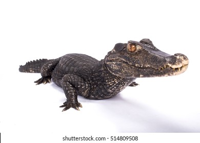 Smooth-fronted caiman,Paleosuchus trigonatus