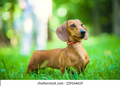 Smooth-haired dachshund standard, color red, female.