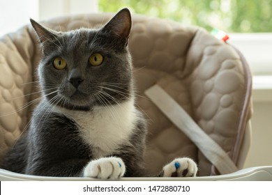Smooth-haired gray cat with a white breast sits in a child's chair at the children's table. The claws of the cat are wearing vandal-proof vinyl pads. Concept: patient cat waiting to be fed.