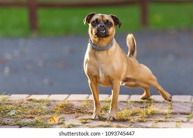 A snaggle toothed puggle dog stretches in the afternoon sunlight.