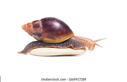 Snail Achatina   isolated on white background. Big snail closeup. Animal world. Achatina snail on a background of   stones.