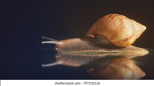 Snail Achatina on a dark background. Big snail closeup. Animal world. Achatina snail on a background of black stones. Snail on a dark Studio background