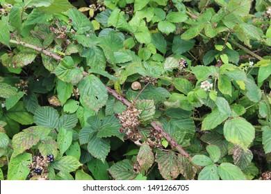 A snail in amongst blackberry brambles.