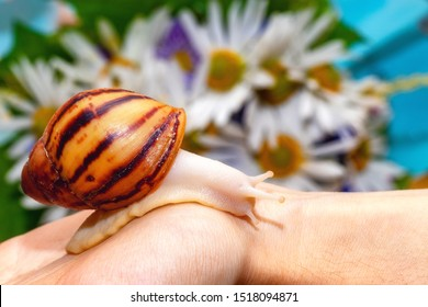 Snail Archachatina marginata var. ovum. Yellow shell with brown stripes. Snail crawls on a hand against the background of chamomile flowers. Beautiful background with copy space.