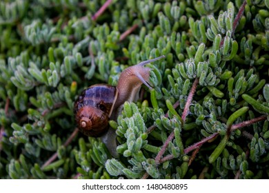 snail climbing on a bush, Mexican snail, invertebrate, animal on a plant,
