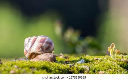 Snail closeup. Burgundy snail (Helix, Roman snail, edible snail, escargot) on a surface with moss.Helix promatia