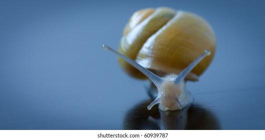 Snail close-up (macro) on grey background.