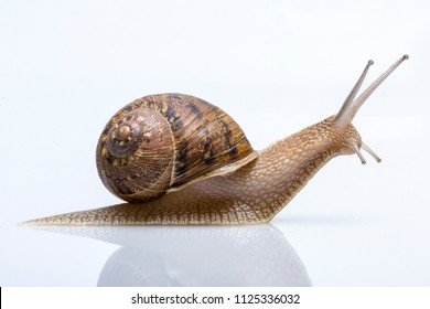 Snail in closeup on white background