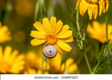 A snail (Cochlea) sits in the shell on a yellow flower close-up on a spring, sunny day