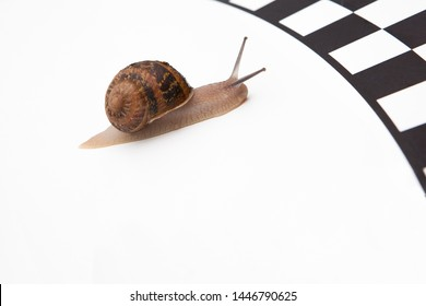 Snail competition (run, snail racing) One snail is approaching the finish line, without rivals, creeping slowly towards the end of the distance, on a white background, no one, space