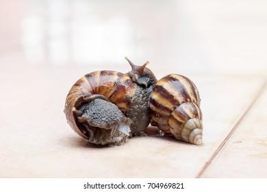 Snail couple. Snail love analogy.