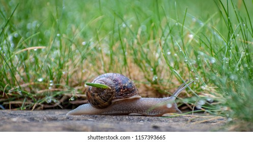 Snail crawling along a path next to wet grass. Close up of the snail taken from side view. Snail has some grass stuck to its shell. Snail is moving into the wet grass.
