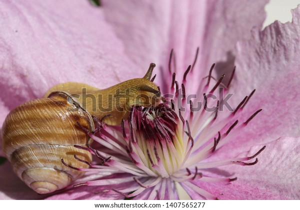 Snail crawling on the flower of clematis, macro