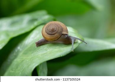 Snail crawling on green leaf after rain