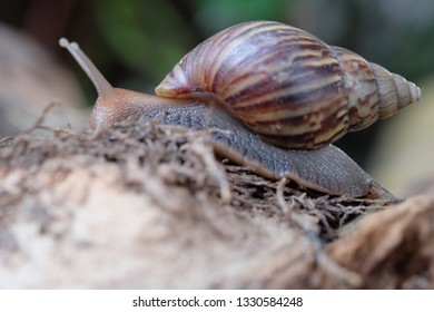 Snail crawling on the wood in nature and show beauty shape.looking for some food.