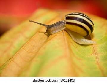 A snail is crawlingon a yellow maple leaf. Very shallow DOF - macro shot.