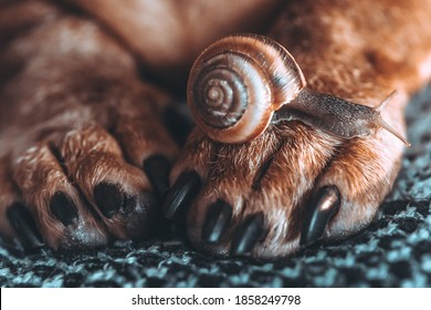 snail and dog. the snail grows on the brown paw of the animal. brown dog paws on a gray background. friendship of a dog and an insect. brown grape snail crawling on a dog