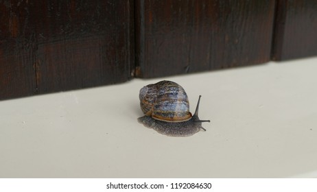 Snail escargot slowly moving with a brown shell outside