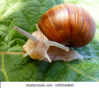 Snail gliding on the green leaf texture. Large white mollusk snail with light brown striped shell, crawling on burdock leaf. Helix pomatia, Burgundy snail, Roman snail, edible escargot.