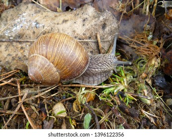 Snail gliding on the wet grass texture. Large white mollusk snails with light brown striped shell, crawling on moss. Helix pomatia, Burgundy snail, Roman snail, edible snail, escargot.
