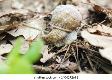 Snail gliding on the wet stone texture. Large white mollusk snails with light brown striped shell, crawling on old rock. Helix pomatia, Burgundy snail, Roman snail, edible snail, escargot.