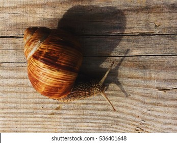 Snail gliding on the wood.