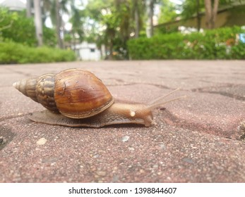 Snail (Helix pomatia,Roman snail, Burgundy snail) slowly moving walk on walkway in garden, success concept