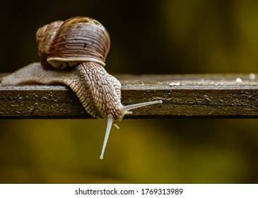 A snail is, in loose terms, a shelled gastropod. The name is most often applied to land snails, terrestrial pulmonate gastropod molluscs.