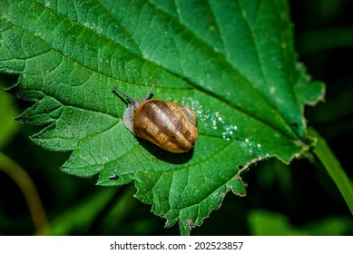 snail leaving a glittering trace on a leaf