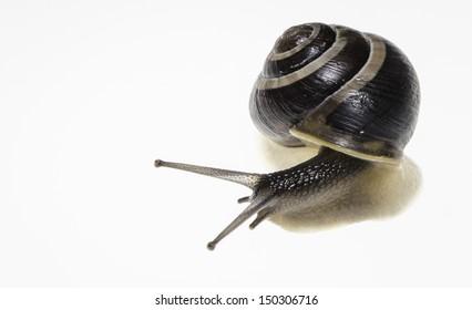 Snail macro on white
