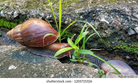 Snail in the morning garden in the rainy season