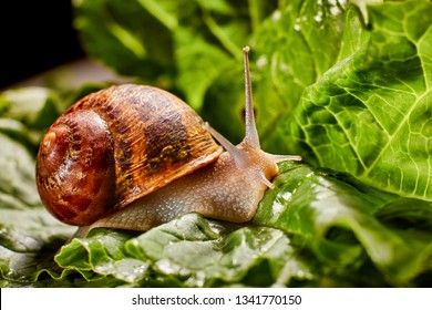 Snail Muller gliding on the wet leaves. Large white mollusk snails with brown striped shell, crawling on vegetables. Helix pomatia, Burgundy, Roman, escargot. Caviar. Kisses of snails in strawberries.