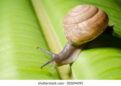 snail on banana palm green leaf.