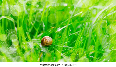 snail on the grass wet by the dawn