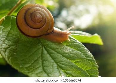 snail on a green leaf in the bright rays of the sun on a blurred garden background.environment and wildlife concept.garden snail eating a green leaf on a tree