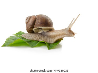 Snail on a green leaf isolated.