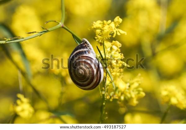 Snail on green mustard yellow flower, California