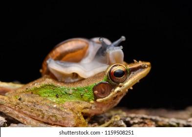 Snail on head dumpy frog. Friendly animal. Selective focus.