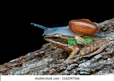 Snail on head dumpy frog. Friendly animal, night macro photograpic