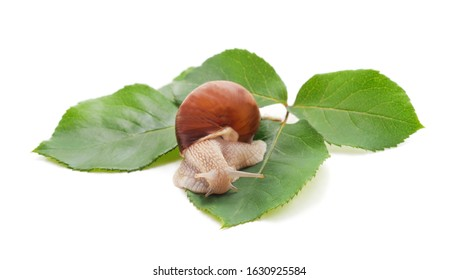 Snail on the leaves isolated on a white background.